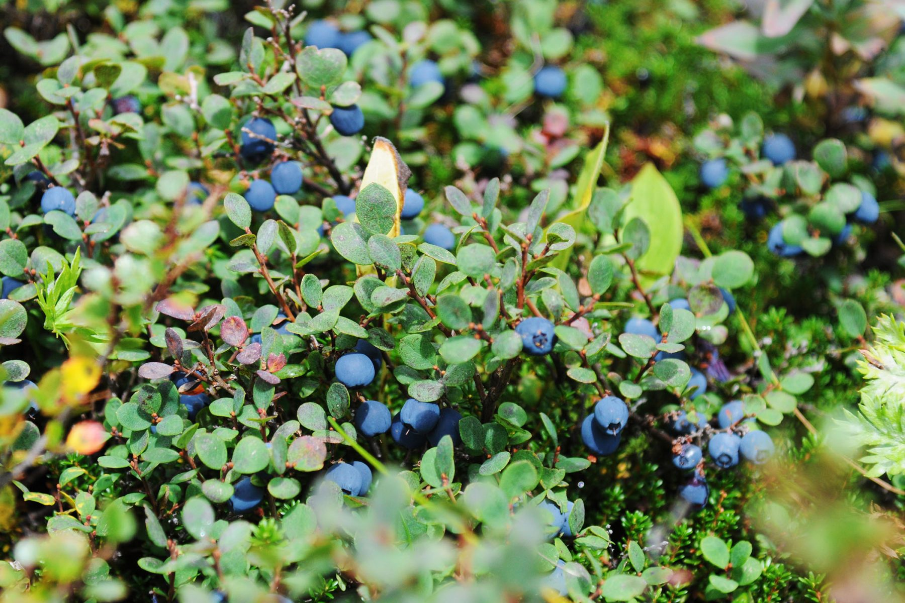 Blueberries on a steep slope above Falling Water Creek